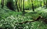 Wild Garlic near Monkleigh